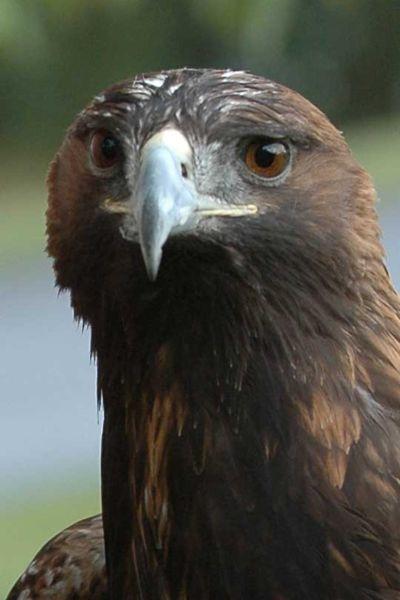 """Какую птицу называют  """"королем орлов """"?"""