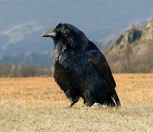 Что ворон и ворона разные птицы см