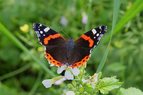 бабочка картинки адмирал