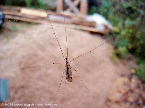 Народное название больших комаров из семейства Tipulidae.