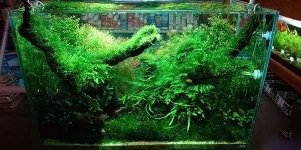 Фото № 87 Японский аквариум Такаши Амано 90 фото
